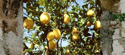 Eugenio Montale i limoni