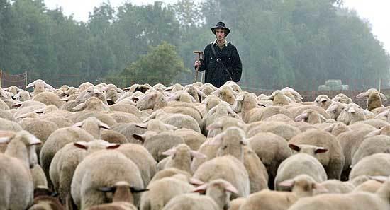 1 Gregge_di_pecore